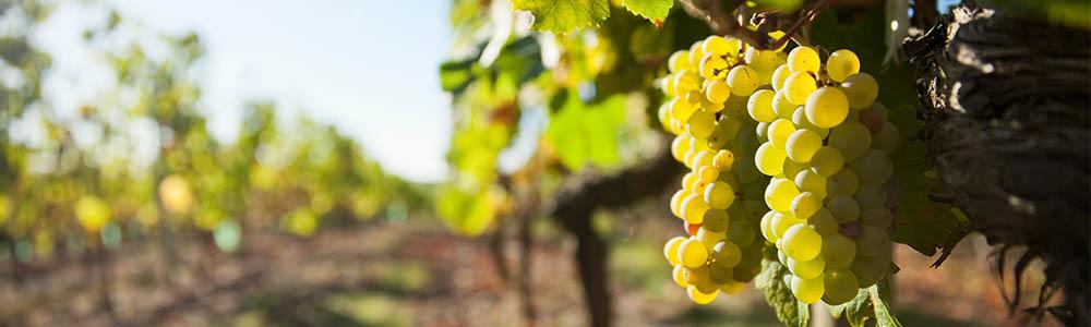 italienischer weißwein trauben