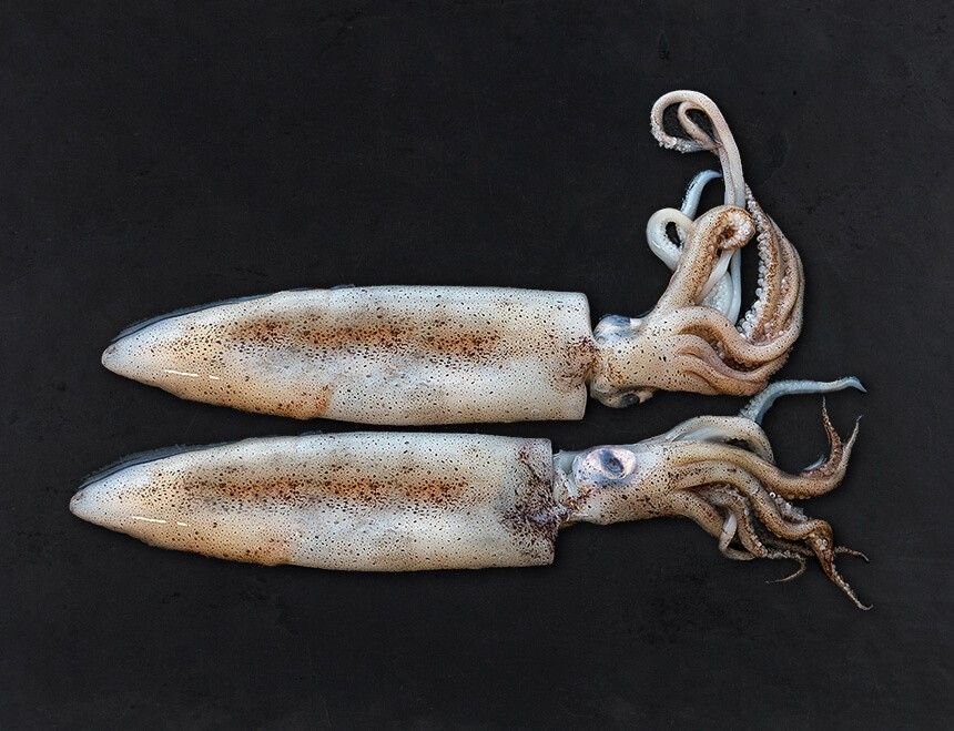 Calamar California Frisch
